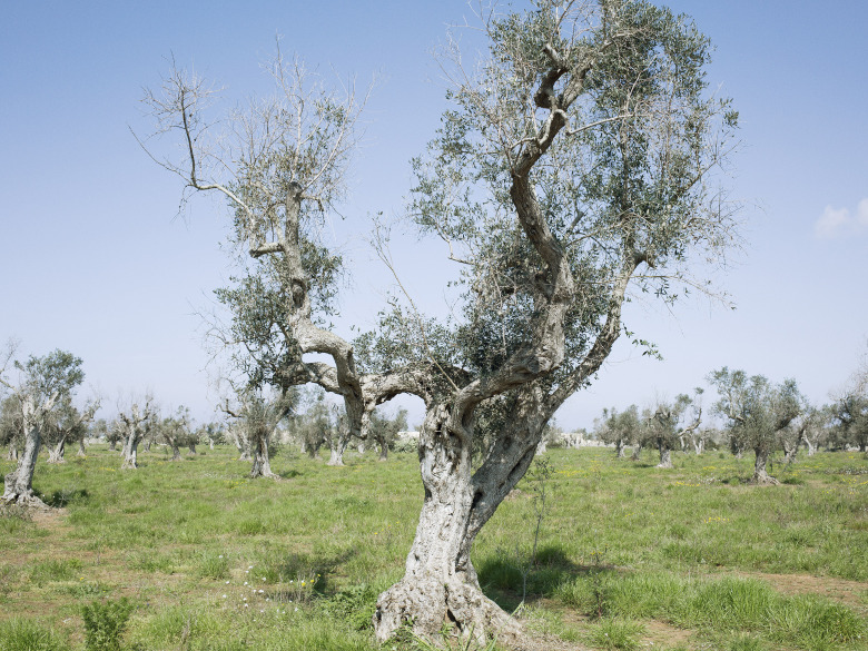 Olive trees infected by the bacterium Xylella fastidiosa in Lecce.
