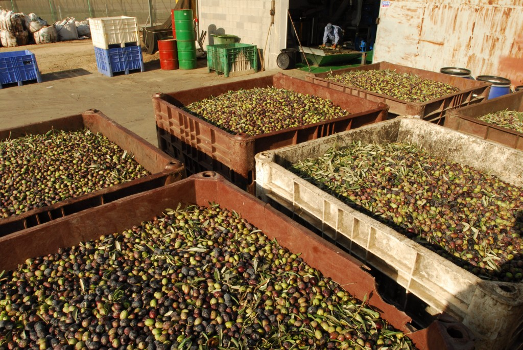 Israeli Olive Oil Industry Prepares for Competition | Olive